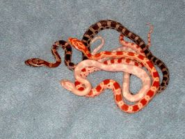 baby corn snakes by leopardqueen
