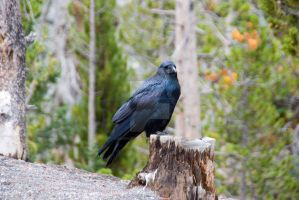 animals of yellowstone by mikesphotos-drawings