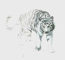 White tiger by nunofrias
