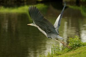 Grey Heron takeoff by webcruiser