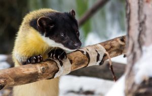 Yellow-Throated Marten III by OrangeRoom