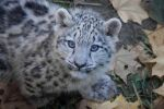 Snowleopard, Stuttgart IX #CUB VERSION by FGW-Photography