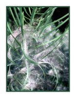 Fluffy spirally weed by autumn-haze