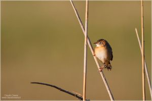 Zitting Cisticola by ClaudeG