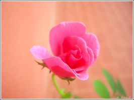 Pink Rose by Ana-D