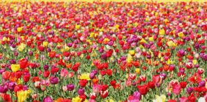 Tulip Field 09 by KelbelleStock