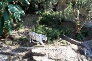 White Tiger 3 by cynstock