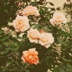 The vintage roses by elheartista