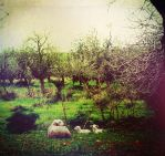 . Lambs . by TreMenda