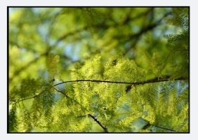 bald cypress by bracketting94