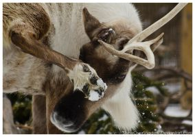 Reindeer 003 by ShineOverShadow