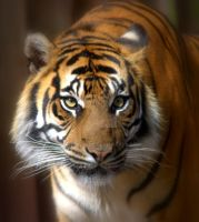 Sumatran Tiger 2 by naturelens