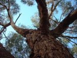 Australian Gum Tree by punchbuggy