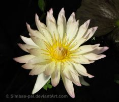Water Lily I by Simbas-pal