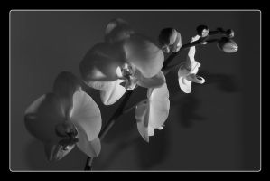 moth orchid 2 BW by tea
