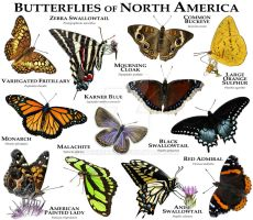 Butterflies of North America by rogerdhall