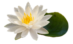 Water Lily.. by Alz-Stock-and-Art