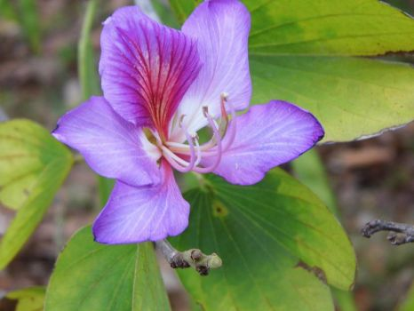 Bauhinia blakeana, Hong kong Orchid. by Kittery