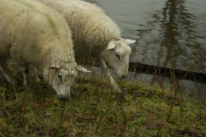 Sheep on the dike 4 by steppelandstock