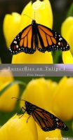 Butterflies on Tulips I Stock by Moonchilde-Stock