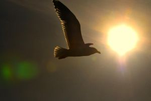 01- Jonathan Livingston Seagull by JoeCorreia