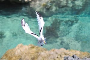 bermuda longtail by petermarshall