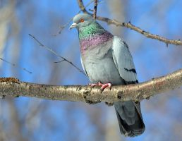 Feral Pigeon by nordfold