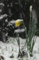 Early Daffodil - Late Snow by Gianni36