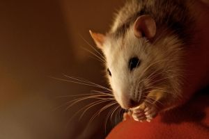 Rat II by ChrisWerlin