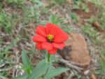 Redflower by ritzpagli