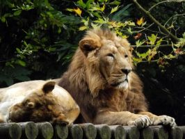 2014 - Asiatic lions 4 by Lena-Panthera