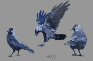 Jackdaws by AnnaP-Artwork