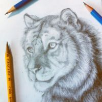 Bengal tiger sketch   by Thetortagirl