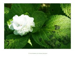 flower - white by ideastep