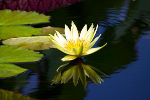 Yellow waterlily by OL27