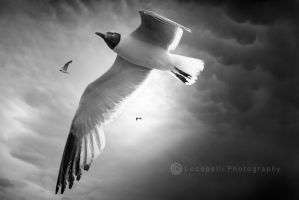 Seagull Flight by Locopelli