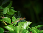 Copper dragonfly by Mogrianne