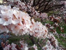 Cherrytree Flowers 3 by Table-Sama
