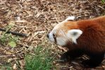 red panda. by uninsomnia