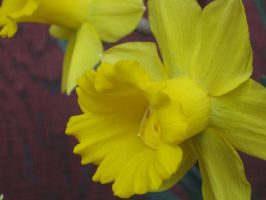its another Daff by crazygardener
