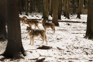 wolf pack by LurchiMone