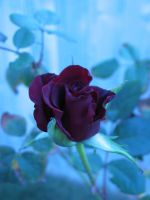 STOCK-rose-2 by CDS-stock