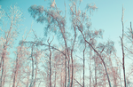 Frozen forest by Daniel-Van