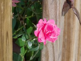 Pink rose1 by ChaoticxBarbie