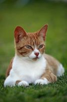 Ginger cat on grass by westcoastwitch