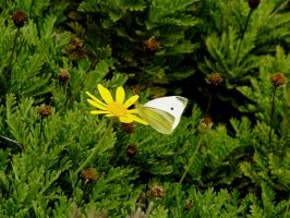 Cabbage Butterfly by PearlT