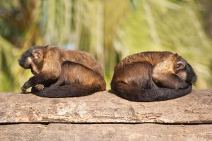 Synchron chilling monkey twins by AnjaSchlegelmilch