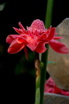 Torch Ginger by Parides