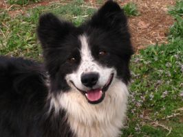 Border Collie 26 .:Stock:. by WesternStock