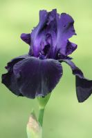 Iris Afternoon 6 by Dellessanna